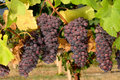Pinot Noir Bunches Royalty Free Stock Photography
