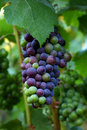 Pinot Noir Grapes Stock Image