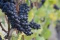 Pinot Noir grapes Stock Photos