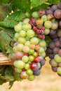 Pinot noir grapes growing about weeks before harvest in a vineyard in the umpqua valley near roseburg or Stock Photo