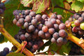 Pinot noir grapes in the henry s winery vineyard in the umpqua valley near roseburg oregon Stock Photo
