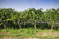 Pinot noir grapes in rheinhessen germany selective focus Royalty Free Stock Photo