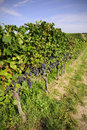 Pinot noir grapes in rheinhessen germany selective focus Stock Photography