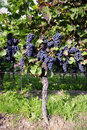 Pinot noir grapes in rheinhessen germany selective focus Stock Photos