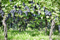 Pinot noir grapes in rheinhessen germany selective focus Stock Images