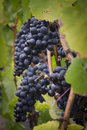 Pinot noir grapes vignette Stock Image