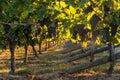 Pinot noir grapes in vineyard Royalty Free Stock Photo