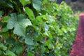 Pinot Noir Leaves Stock Photos