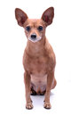 Pinscher diminuto Fotos de Stock Royalty Free