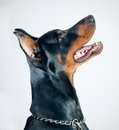 Pinscher do Doberman Fotografia de Stock Royalty Free