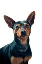 Pinscher dog portrait Royalty Free Stock Photos