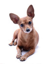 Pinscher miniature Photos stock