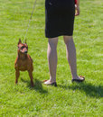 Pinscher is ready to defend master muscular miniature Stock Photos