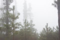 Pinus canariensis. Misty foggy forest in Tenerife, Spain, winter weather Royalty Free Stock Photo
