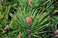 Pinus mugo backlit Royalty Free Stock Photo