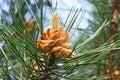 Pinus mugo closeup Royalty Free Stock Photo