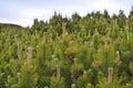 Pinus mugo Royalty Free Stock Photo