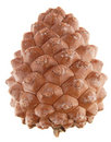 Pinus pinea (stone pine) cone, Royalty Free Stock Photo
