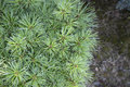 Pinus strobus Greg Royalty Free Stock Photo