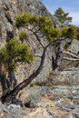 Pinus Sylvestris Royalty Free Stock Image