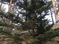 An apprentice Torrey Pine, among many now growing throughout California. Royalty Free Stock Photo