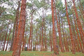 Pinus Royalty Free Stock Photo