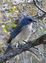 A Pinyon Jay of the mountainous region of Texas Royalty Free Stock Photo
