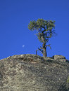 Pinyon with Moon Royalty Free Stock Photos