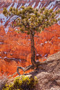 Pinyon Pine Tree Bryce Canyon National Park Stock Photos