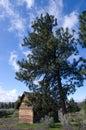 Pioneer log cabin beneath Ponderosa Pine Royalty Free Stock Photo