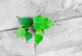 Pipal leaf growing through crack in old sand stone wall,survival Royalty Free Stock Photo