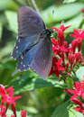 Pipevine swallowtail butterfly perched on bright red flowers Stock Images