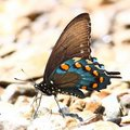 Pipevine Swallowtail (philenor Battus) Royalty-vrije Stock Foto