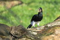 Piping hornbill the adult standing on the wood Royalty Free Stock Image