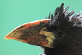 Piping hornbill the detail of Royalty Free Stock Photography