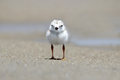 Piping Plover Chick Royalty Free Stock Photo