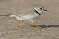 Piping plover jogging on the beach Royalty Free Stock Images