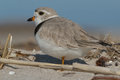 Piping plover standing on the beach Royalty Free Stock Image