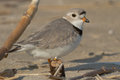 Piping plover standing on the beach Stock Images