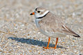 Piping plover standing beach cape may nj Stock Photos