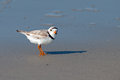 Piping plover standing on the beach in cape may nj Royalty Free Stock Photos