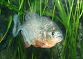 Piranha Photo stock