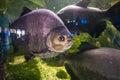 Piranha in aqarium Royalty Free Stock Photo
