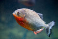 Piranha at moscow oceanarium amazing russia Stock Photos