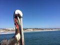 Pirched pelican at the harbor in southern california Royalty Free Stock Image
