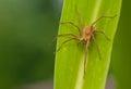 Pisaura mirabilis curious spider a beautiful killer Royalty Free Stock Photos