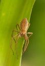 Pisaura mirabilis curious spider a beautiful killer Stock Photos