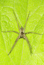 Pisaura mirabilis the nursery web spider on a green leaf Stock Photo