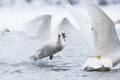 off trumpeter swan Royalty Free Stock Photo