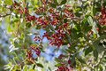 Pistacia lentiscus red ripened fruits and leaves on branches Royalty Free Stock Photo